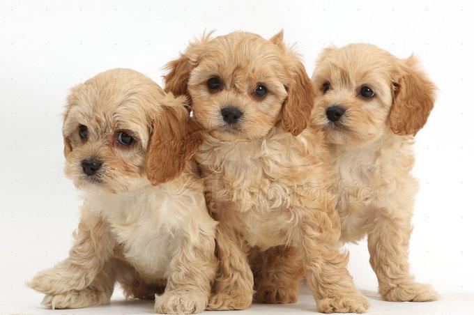 Three cute Cavapoo puppies
