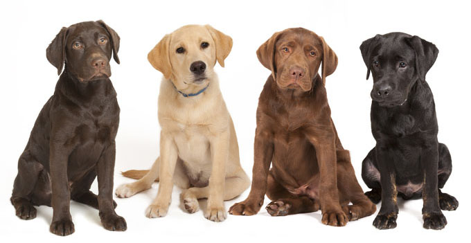 labrador-retriever-dog-pictures-3