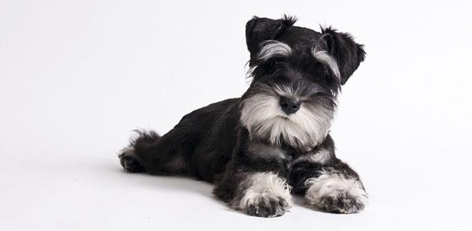 miniature_schnauzer_puppy