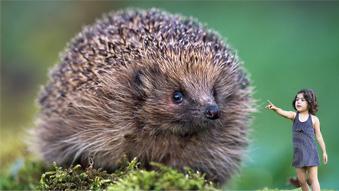 Massive hedgehog on Clapham Common